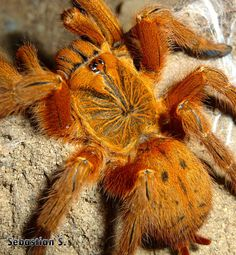 Pterinochilus murinus. You should like this one Rose, it's ORANGE :) Types Of Spiders, Spiders And Snakes, Rare Animals, Animals And Pets, Spider Tattoo, Itsy Bitsy Spider, Beautiful Bugs, Baboon, Creature Feature