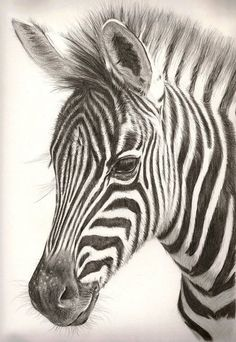 colored pencil zebra drawing - Google Search: …