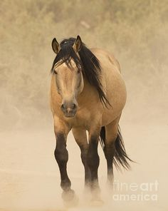 Out of the dust... emerges a gorgeous buckskin!