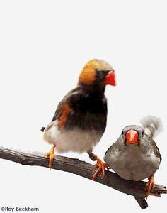 # finch Breeding Finches