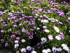 Osteospermum ou Dimorphoteca - la marguerite du Cap fleur du jardin