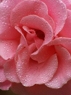 photo: close up of a pink rose coveredd in a fine layer of dew drops ... luv the textures and the abstract design ...
