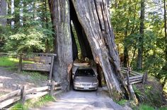 The angled opening of the Shrine drive-through tree in Myers Flat supposedly formed natura...