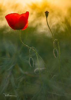 a poppy by martint on 500px