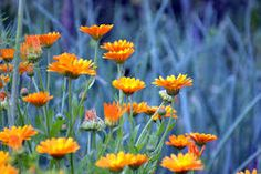 Calendula not only tolerate dappled shade, they prefer it. Edible and medicinal, but if you want true calendula rather than the common marigold, note that they are different varieties.