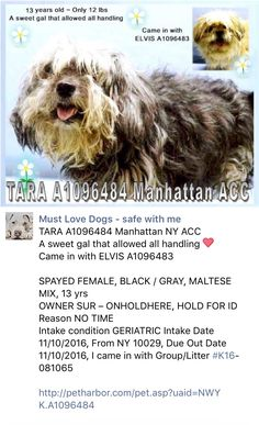 SAFE❤️❤️ 11/12/16 SUPER URGENT Manhattan Center TARA – A1096484 SPAYED FEMALE, BLACK / GRAY, MALTESE MIX, 13 yrs OWNER SUR – ONHOLDHERE, HOLD FOR ID Reason NO TIME Intake condition GERIATRIC Intake Date 11/10/2016, From NY 10029, DueOut Date 11/10/2016, I came in with Group/Litter #K16-081065 http://nycdogs.urgentpodr.org/tara-a1096484/
