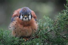 Kestrel Falcon (male)