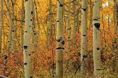 The glowing yellow leaves of an aspen grove left us wondering: Why are these trees so unique?