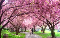 must see: Japanese Cherry Blossom Festival Cherry Blossom Japan, Cherry Blossom Season, Cherry Blossoms, Cherry Flower, Blossom Garden, Blossom Trees, Brooklyn Botanical Garden, Botanical Gardens, Tree Wallpaper Pink