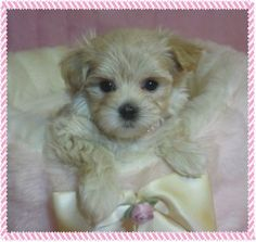 Maltipoo FurBabies is here to help you find the perfect new puppy. All of our Maltipoo puppies come with a health guarantee & references. See pictures in our photo gallery. Puppy Pics, Puppy Pictures, Maltipoo Puppies, Dogs And Puppies, New Puppy, Shaggy, Poodle, Fur Babies, Baby Animals