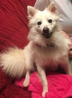 American Eskimo Dog dog for Adoption in Fargo, ND. ADN-747509 on PuppyFinder.com Gender: Male. Age: Adult
