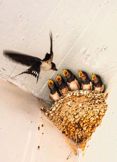 """Mom Swallow: """"Busy Feeding Her Growing Chicks..."""""""