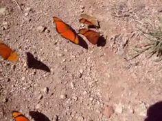 Tema da borboleta - YouTube