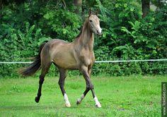 Akhal-teke horses for sale - Kirgiz(Karatai - Gulchetai)