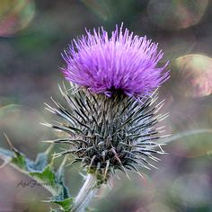 Bokeh photograph of a Scottish Thistle in dreamy purple, grey and green colour palette.  TITLE: Purple Haze  SIZE: 8x8 or 10x10 inches - archival print  »» More SCOTTISH Prints: http://etsy.me/1nfBCtX »» More NATURE Prints: http://etsy.me/17gjGHD  ● CUSTOMISE YOUR OWN SET (5X7) - SAVE 45% - http://etsy.me/1G1KGGY ● CUSTOMISE YOUR OWN SET (8X10) - SAVE 20% - http://etsy.me/19w23VD ● BUY 4 (or more) LARGE PRINTS - SAVE 25% - Use coupon code: PRINTS25  All photographs are professionally…