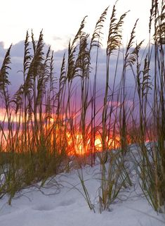 ~~Golden Amber ~ sea oats wave gently in the breeze on the beach as the sun sets, Destin, Florida by Janet Fikar~~