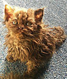 SELKIRK REX. So friggin cute! This cat has hair like mine :D