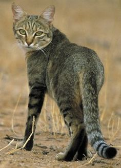 African wild cat from which all modern domestic cats are descended Small Wild Cats, Big Cats, Beautiful Creatures, Animals Beautiful, Exotic Cat Breeds, African Wild Cat, Animals And Pets, Cute Animals, Purebred Cats