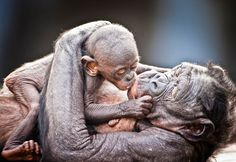 A baby bonobo kisses its mother at Jacksonville Zoo in Florida. British plumber, Graham McGeorge spent three months documenting the female dominated world of these charismatic apes. Baby Animals, Funny Animals, Cute Animals, Kiss Pictures, Animal Pictures, Beautiful Creatures, Animals Beautiful, Jacksonville Zoo, Baboon