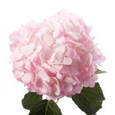 Pink Hydrangea - Petite - Hydrangea - Types of Flowers Types Of Hydrangeas, Types Of Flowers, Small Flowers, Blush Flowers, Hydrangea Flower, Wedding Flowers, Flower Garden Plans, Flowers Garden, Small Flower Arrangements