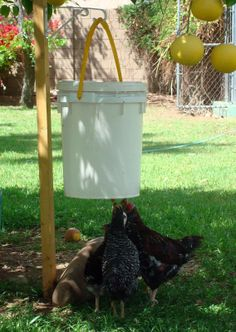 A poop-free chicken waterer for just a few bucks using a bucket and a .50 cent water dripping nipple.