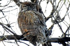 This Great Horned Owl wasn't so happy about the spring rain storm that soaked her feathers! Arapahoe Indians, State Birds, Rain Storm, Great Horned Owl, Blue Heron, Bird Species, Owls, Feathers, Colorado