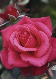 Hybrid Tea Rose: Rosa 'Charisma' (Germany, 2010)
