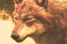 """"""" ✚ WOLF/WEREWOLF GIF HUNT ✚ """" As requested by myself, here is a gif hunt containing small, hq gifs of wolves/werewolves/shape-shifters. These gifs are from The Twilight Saga and can be used in. Twilight Wolf Pack, Jacob Black Twilight, Twilight Series, Twilight Movie, Harry Potter Twilight, Twilight Jokes, Wolf Pictures, Majestic Animals, Anime Wolf"""
