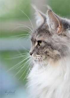 Maine Coon | Ethereal Beauty ❤ | Pinterest)