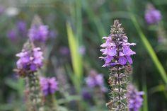 Flori salbatice din Romania, mic atlas web cu flora Romaniei. Romania, Floral, Plants, Flowers, Flora, Plant