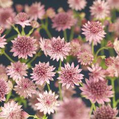 Pink Garden, Dream Garden, Astrantia Major, Shade Plants, Garden Inspiration, Garden Ideas, Vegetable Garden, Green Colors, Garden Landscaping