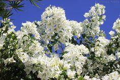 primavera branca ou boungainvillea