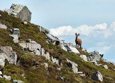 Deer on Beinn Shiantaidh, Isle of Jura