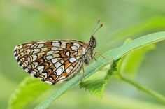 Baldrian-Scheckenfalter (Melitaea diamina) Moth, Insects, Bee, Butterfly, Animals, Honey Bees, Animales, Animaux, Bees