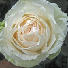 Garden Rose Mythos