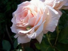 Rose 'Vanilla Perfume' with a frog friend.