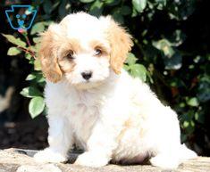 Angel | Cavachon Puppy For Sale | Keystone Puppies