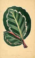 158009 Calathea roseopicta (Linden) Regel [as maranta illustris Linden] / Rothschild, J., Les plantes a feuillage coloré [original ed. E.J. Lowe and W. Howard, Beautiful leaved plants (1861)], vol. 2: t. 18 (1870)