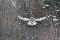 Great Gray Owl - Brooklin, Ontario - January 2014.