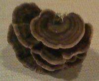 Gourmet Dried Mushroom Spawn DIY Kits to Grow Indoors Edible Mushrooms, Dried Mushrooms, Stuffed Mushrooms, Turkey Tail Mushroom, Mushroom Cultivation, Microorganisms, Spawn, Diy Kits, Fungi