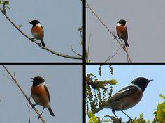 Roodborsttapuit - Saxicola rubicola. - Foto gemaakt door pinterester Adri v.d.S - Bord Vogels - Birds