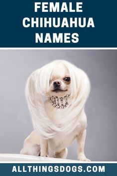 From chic clothes to keep the little ones warm in winter, to being carried in the handbags of some of Hollywood's hottest stars, Chihuahuas are trendy and stylish. Check our list of stylish femal Chihuahua names for your little star. Chihuahua Names, Long Haired Chihuahua, Puppy Names, Chihuahua Puppies, Baby Puppies, Chihuahuas, Pet Names, Shelter Dogs, Animal Shelter