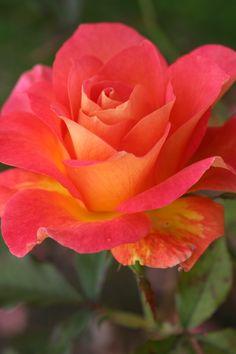 Фотография розы зоммер шейла