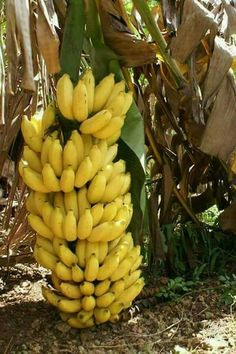 There is banana types that shall withstand temperature drops and grows well in pots or containers, popular especially among the fans of exotic tropical fruit plants. Banana Fruit, Banana Plants, Fruit Plants, Fruit Garden, Fruit Trees, Banana Bread, Fruit And Veg, Fruits And Vegetables, Fresh Fruit