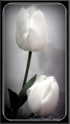 Black and White Tulips by Danielle Parent of Fine Art America