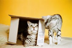 A cat in a box and one who wants to be.