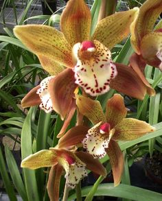 Cymbidium | My Orchids Journal: Cymbidium orchid - Dream Therapy