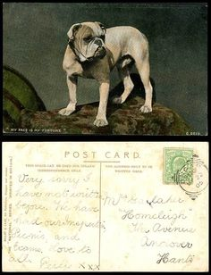 BULLDOG BULL DOG, My Face Is My Fortune 1905 Old Colour Postcard Pets Pet Animal