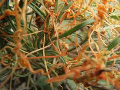 Cuscuta or dodder is a parasitic plant and when I first saw this, I thought it was orange fiber or threads-not a real living organism.  Pretty weird