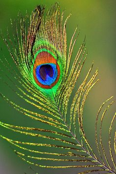 PEACOCK FEATHER | Flickr - Photo Sharing!